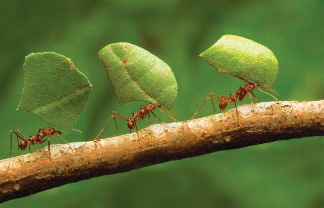 formiche foglie